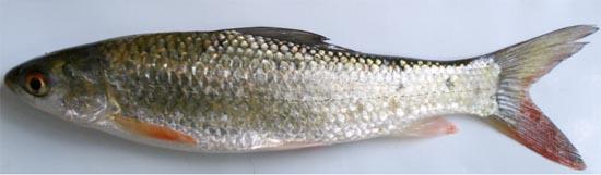 Mrigal carp: Cirrhinus cirrhosus
