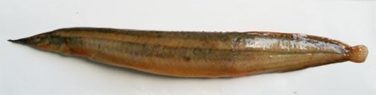 Spiny eel: Macrognathus aculeatus