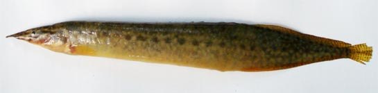 Striped spiny eel: Mastacembelus pancalus