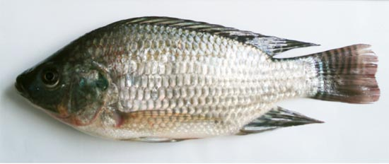 Mozambique Tilapia: Oreochromis mossambicus