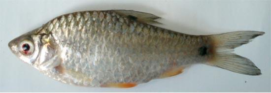 Spot-fin swamp barb: Puntius sophore