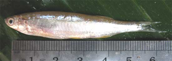 Large razorbelly minnow: Salmostoma bacaila