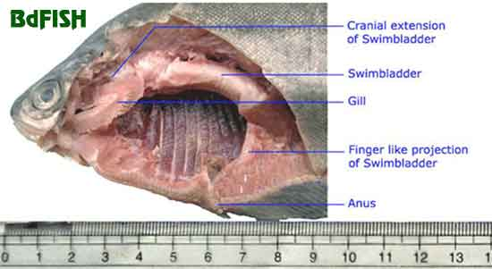 Dissected photo of Notopterus notopterus showing the air-breathing swimbladder