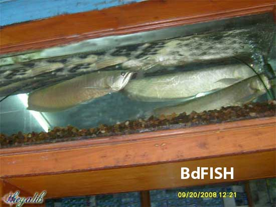 Silver Arowana; most expensive and luxurious aquarium fish in Bangladesh