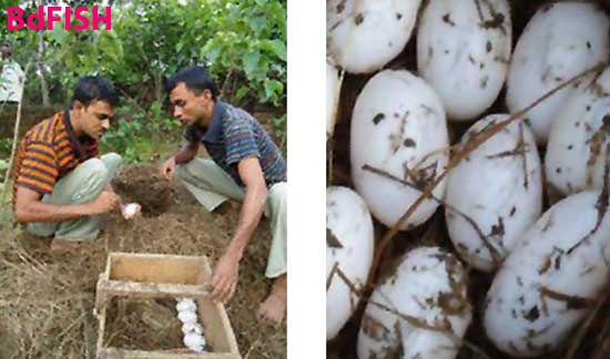 Left: Collection of eggs from nest and Right: Collected eggs of crocodile