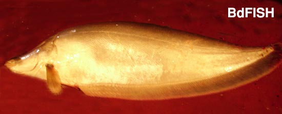 Notopterus chitala