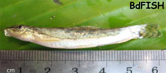 Sand loach: Acanthocobities botia