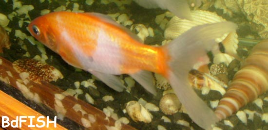 Comet or Color Comet: Carassius auratus