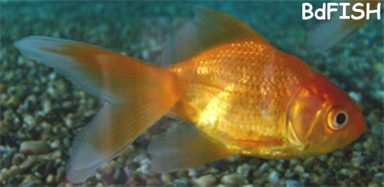 Gold Fish: a common ornamental fish in the aquarium shop of Rajshahi City.