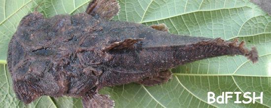Chaka or Gangenia, Squarehead catfish, Chaca chaca
