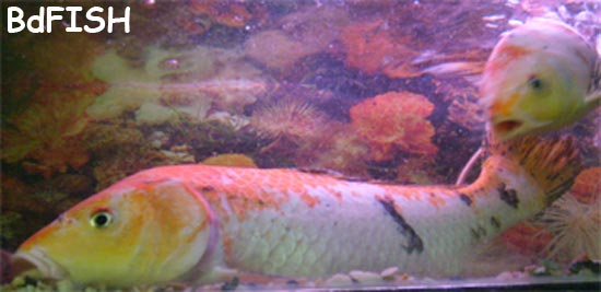 Assorted Koi Carp: Cyprinus carpio