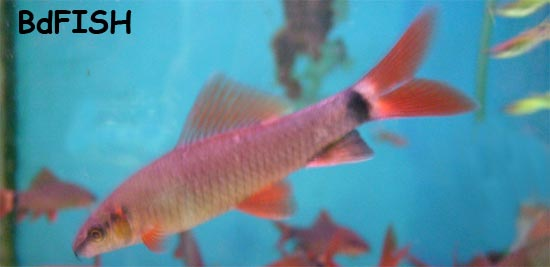 Rambo or Rainbow Shark: Epalzeorhynchos frenatus