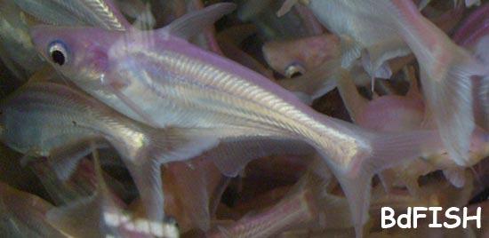 Tiger Shark: Hexanematichthys seemanni