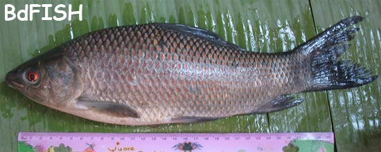 Calbaus, Orange-fin Labeo, Labeo calbasu