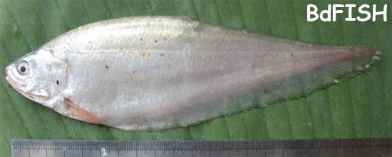 Foli, Bronze Featherback, Notopterus notopterus