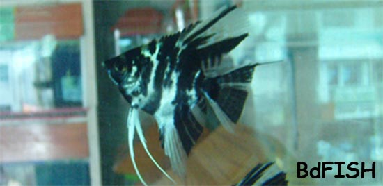 Angel: Pterophyllum scalare