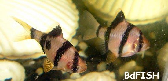 Tiger Barb: Puntius tetrazona