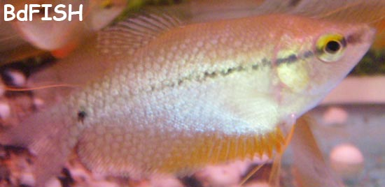 Pearl Gourami: Trichogaster leeri
