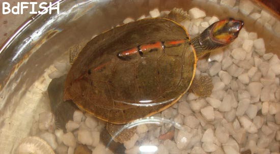 A turtle in Fish Museum and Biodiversity Center, BAU