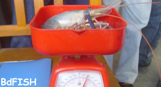 Weighing of harvested prawn