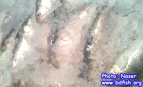 Ice preserved Hilsha fish at BFDC fish landing center of Rajshahi