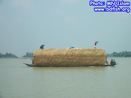 Transportation of goods by boat in chalan beel