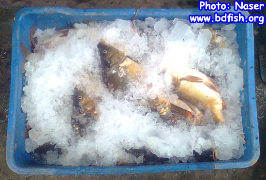 Preservation of fish by using ice