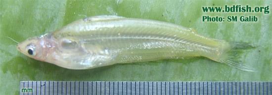 Potasi, Pseudeutropius atherinoides