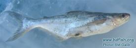 Pangas catfish: Pangasius pangasius