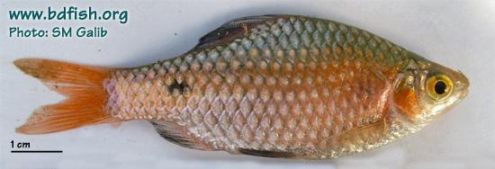Rosy barb: Puntius conchonius