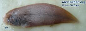 Long tongue sole: Cynoglossus lingua