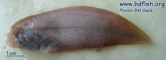 Long tongue sole: Cynoglossus lingua