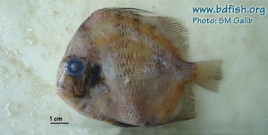 Spotted sicklefish, Drepane punctata (formalin preserved)