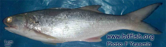 Indian threadfin: Leptomelanosoma indicum