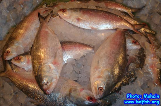 National Fish of Bangladesh: Hilsa