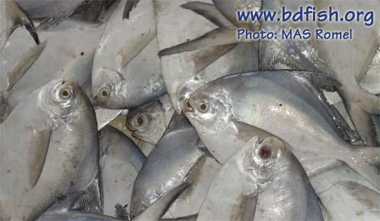 Silver pomfret: Pampus argenteus