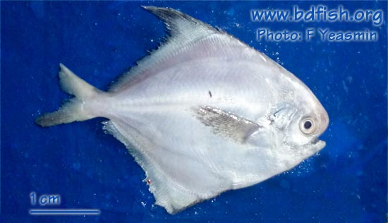 Chinese silver pomfret: Pampus chinensis