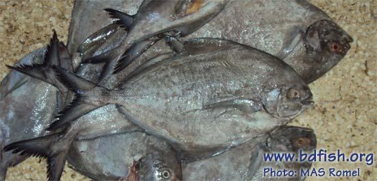 Black pomfret: Parastromateus niger