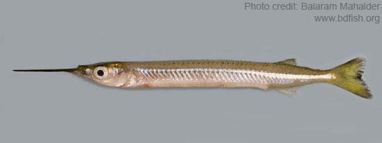 এক  থুইট্টা, Congaturi halfbeak, Hyporhamphus limbatus