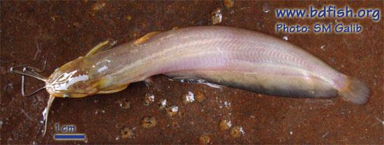 Stinging catfish: Heteropneustes fossilis