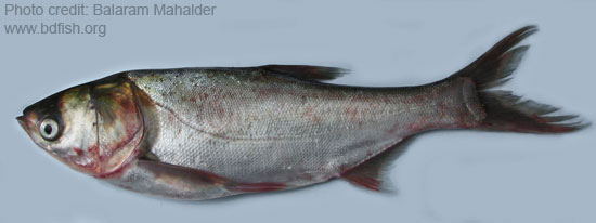 Hypophthalmichthys nobilis