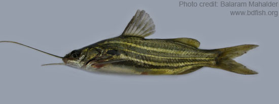 টেংরা, Striped dwarf catfish