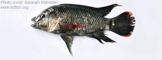 Oreochromis mossambicus, Mozambique Tilapia, মোজাম্বিক তেলাপিয়া বা তেলাপিয়া