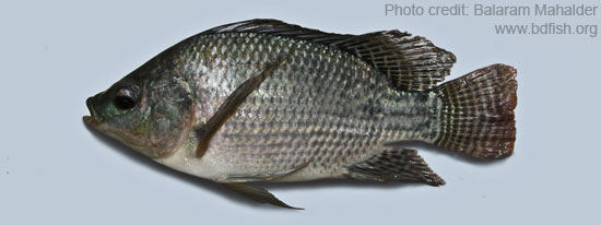 Oreochromis niloticus, Nile Tilapia বা Nilotica, নীল তেলাপিয়া বা নাইলোটিকা