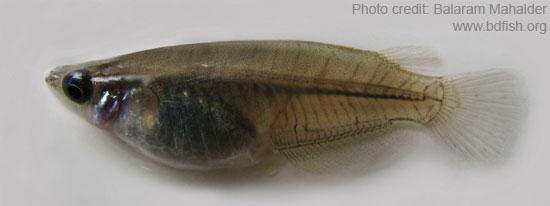 Estuarine ricefish, Oryzias melastigma