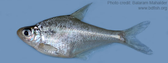 Osteobrama cotio, one of the Near Threatened (NT) Freshwater Fishes of Bangladesh