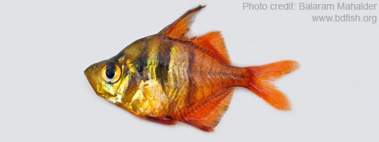 লাল চান্দা, Highfin Glassy Perchlet