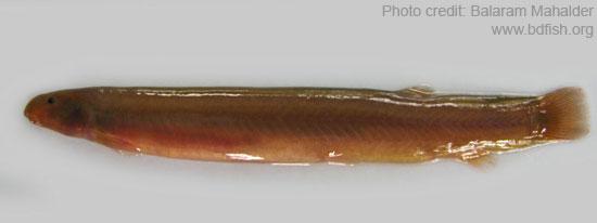 Coolie-loach, Pangio pangia