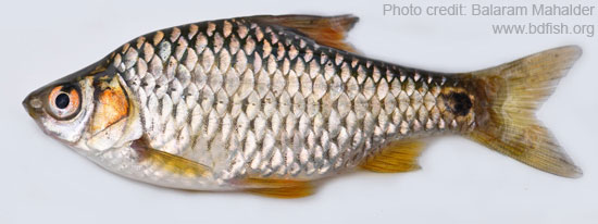 Spottedsail Barb : Photofeature: Freshwater Fishes of Sunamganj Haor Area (Part P2 ...