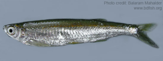 Finescale razorbelly minnow, Salmostoma phulo
